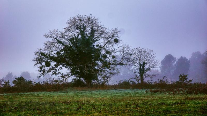 Souméras - Tree in Mist with Mistletoe - France