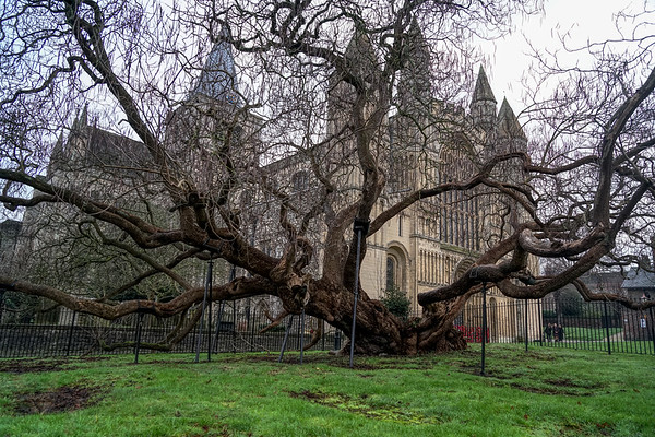 Rochester Cathedral Tree