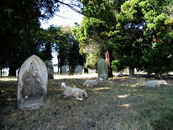 Sheep in a Church Graveyard