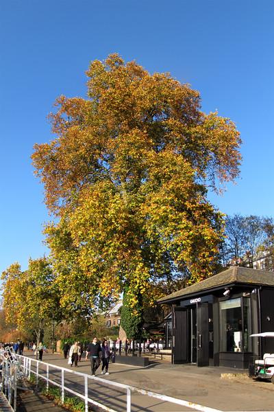 Riverside Plane Tree  - Thames at Richmond