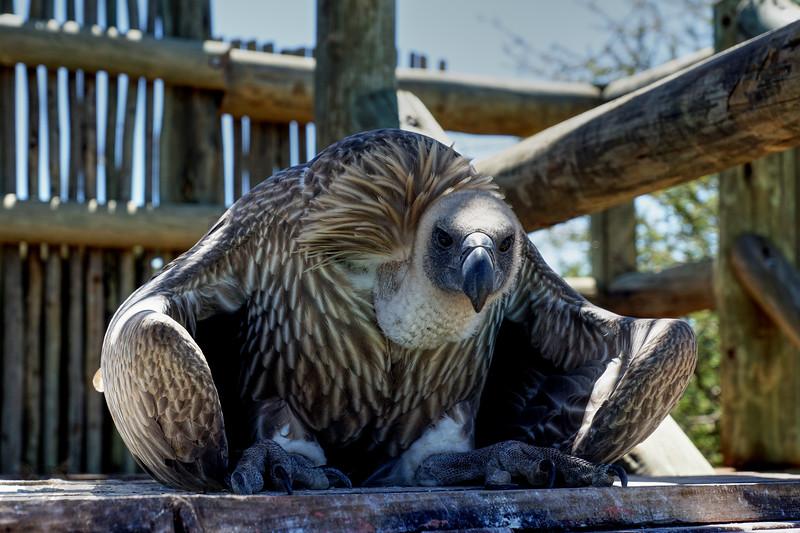 White Backed Vulture - Namibia