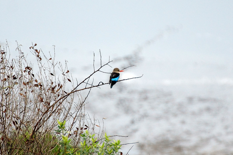 Queen Elizabeth National Park - Blue Bird