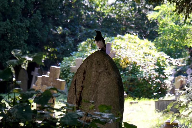 Magpie on a Gravestone