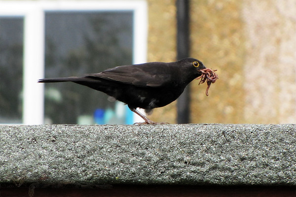 Blackbird with a packed Lunch of Worms