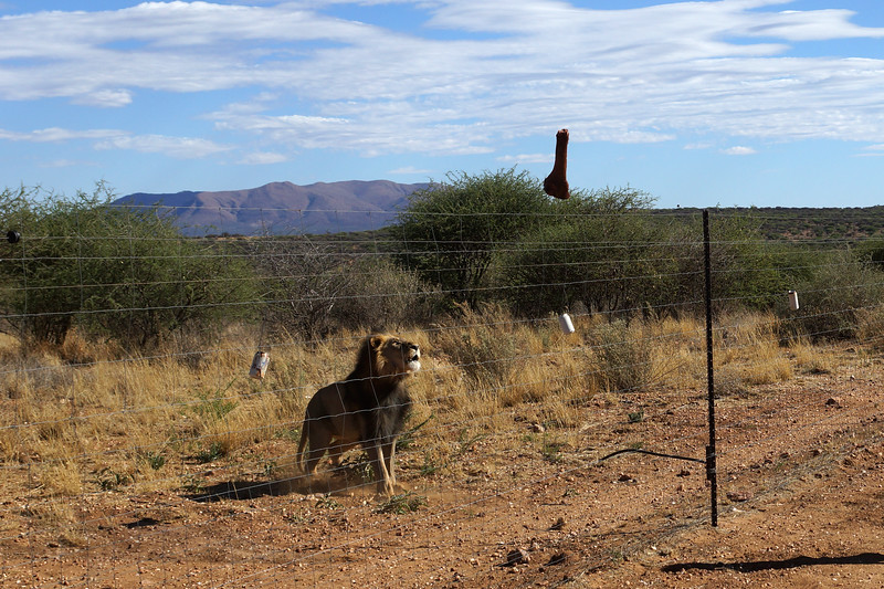 Lion Lunch Time - Namibia