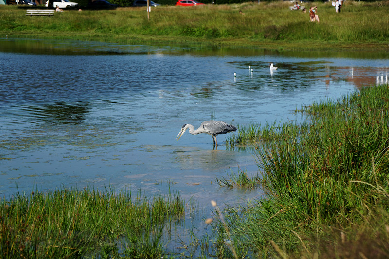 Grey Heron wading in Rushmere Pond