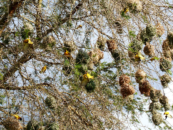 Southern Masked Weaver Birds and Nests