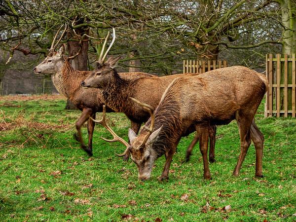 Red Deer in Bushy Park - London