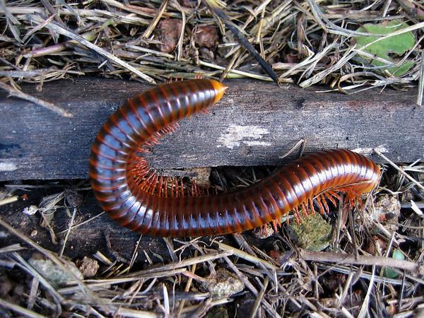 Millipede in Thailand