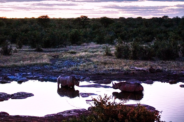 Black Rhinoceros at the Waterhole at Night - Etosha National Park