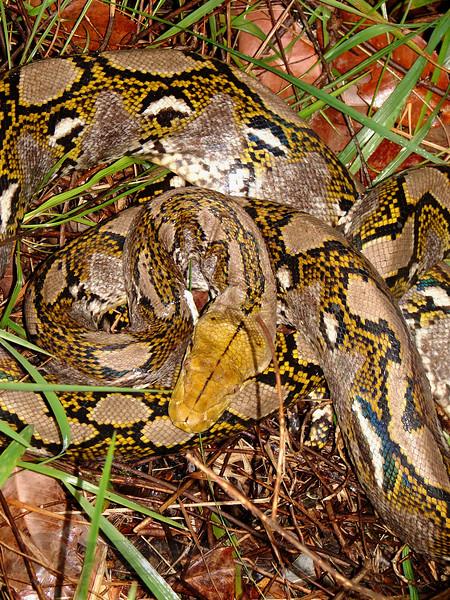 Python in Thailand