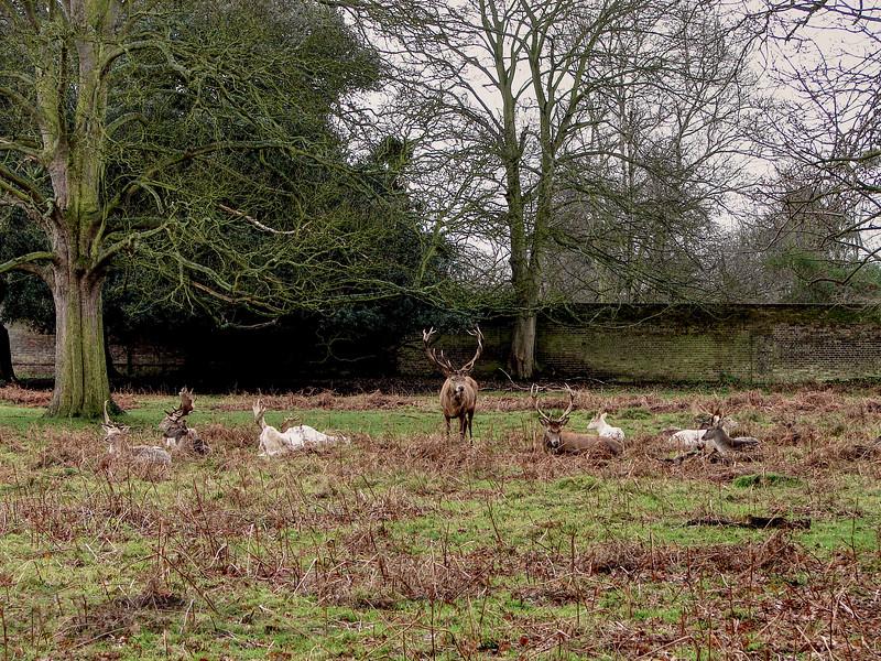 Red Deer in Bushy Park, London