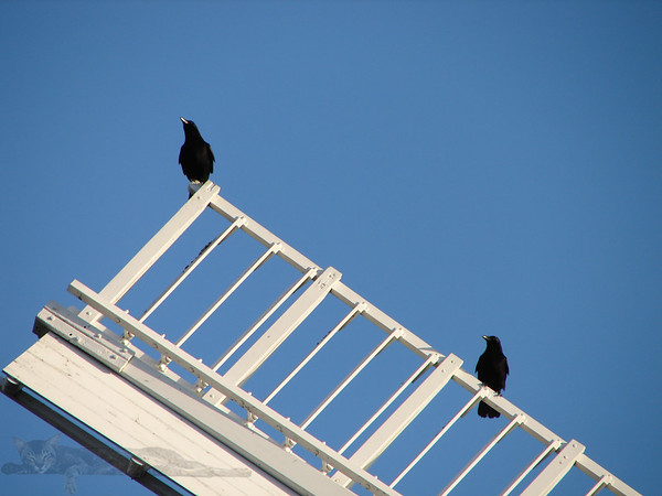 Crows on Wimbledon Windmill