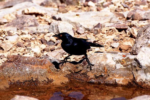 Black Bird at Fish River Canyon, Namibia