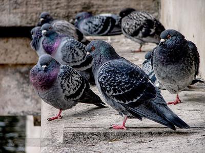 Pigeons on Kingston Bridge