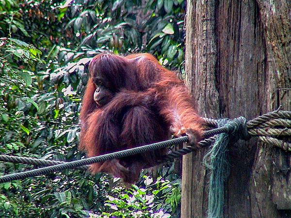 Orangutan in Sepilok - Borneo