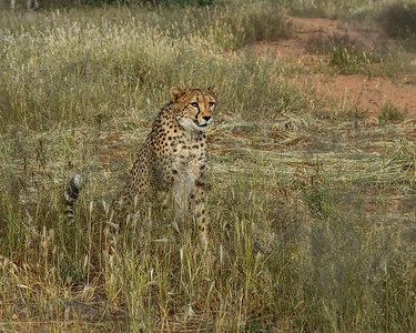 Cheetah at Naankuse Wildlife Conservation in Namibia