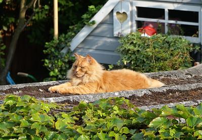 Ginger Lion