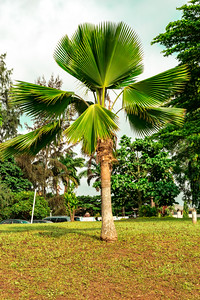 An old travellers, fan palm on the grounds of Premier Hotel Oyo State Ibadan Nigeria
