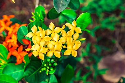 Yellow Ixora on the grounds of Premier Hotel Ibadan Oyo State Nigeria.
