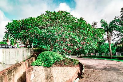 An old Plumeria Frangipani tree (rarely this big) at Premier Hotel Ibadan Oyo State Nigeria.