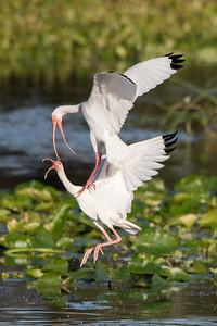 American White Ibis in Territorial Dispute