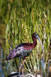 Glossy Ibis at Viera Wetlands