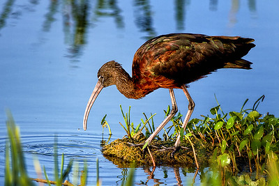 Glossy Ibis at Orlando Wetlands