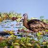 Glossy Ibis at Orlando Wetlands Park