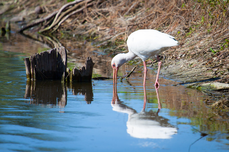 White Ibis Reflected