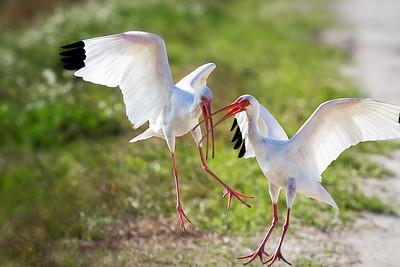 Ibis havig a disagreement at Orlando Wetlands