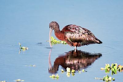 Glossy Ibis at Orlando Wetlands
