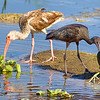 Juvenile American White Ibis, Glossy Ibis, Common Gallinule