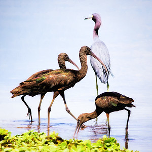 Glossy Ibis and Little Blue Heorn