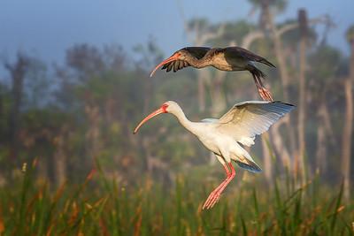 Juvenile and Adult Ibis making a landing