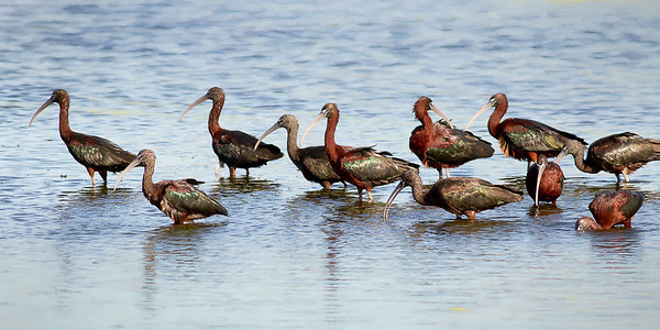 Glossy Ibis in Breeding Colors - Orlando Wetlands
