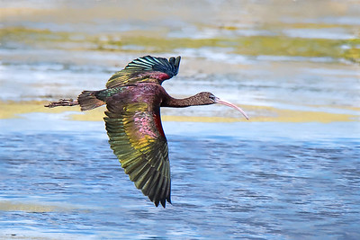 Glossy Ibis in flight at Orlando Wetlands Park