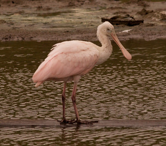 Roseate Spoonbill  South Texas 2012 03 20-2176.CR2
