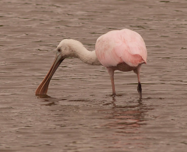 Roseate Spoonbill  South Texas 2012 03 20-2171.CR2