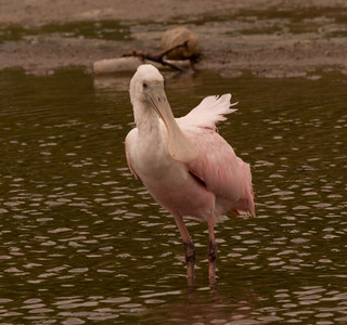 Roseate Spoonbill  South Texas 2012 03 20-2175.CR2