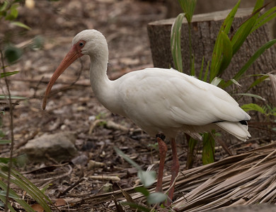 White Ibis West Florida  2018 01 08-2.CR2