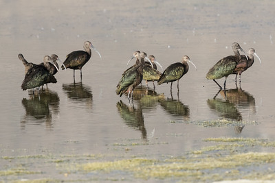 White-faced Ibis Crowley Lake 2016 08 30-1.CR2