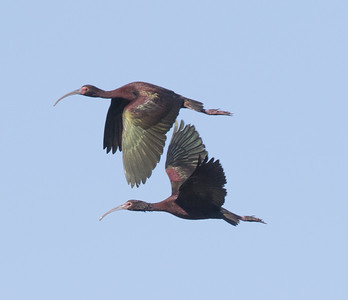 White-faced Ibis Harper Dry Lake 2018 06 23-1-2.CR2