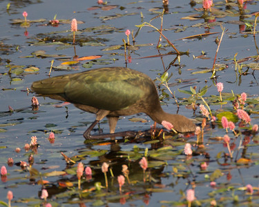 White=faced Ibis Bridgeport 2018 08 10-6.CR2