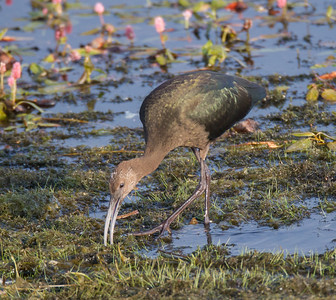 White=faced Ibis Bridgeport 2018 08 10-4.CR2