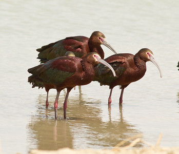 White-face Ibis  Klonkike Lake 2014 04 21-1.CR2