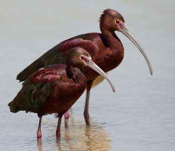 White-faced Ibis Klondike Lake 2014 04 21-5.CR2