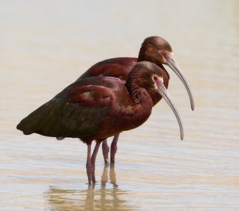 White-face Ibis  Klonkike Lake 2014 04 21-3.CR2