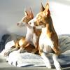 Ami & Tadeo - Baccarat's Back to Innocence & Gilgamesj van Oxymoron<br /> <br /> Wilma Grobben-Snider