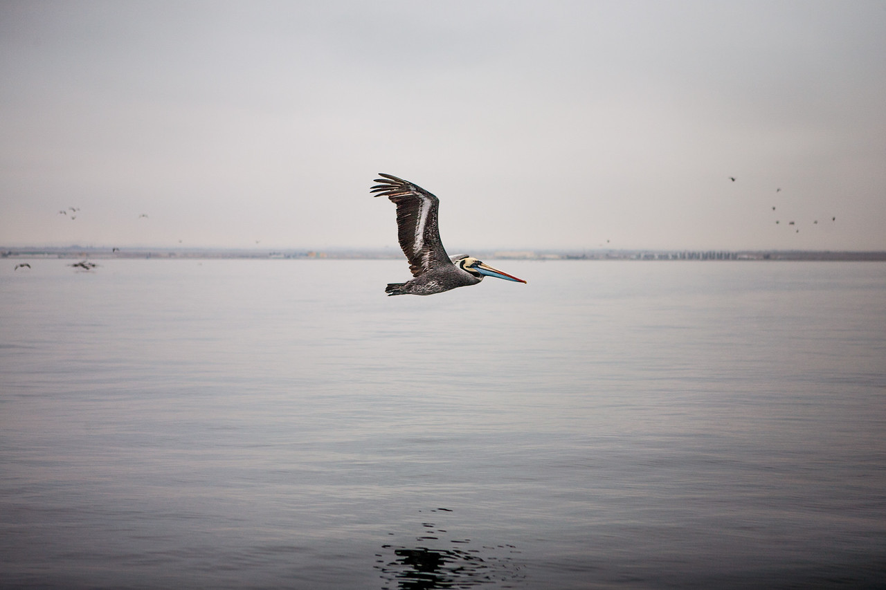 Pelican in flight, Islas Ballestas, Peru